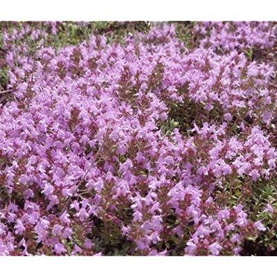 CREEPING THYME Thymus Serpyllum - 30, 000 Bulk Seeds : Garden & Outdoor