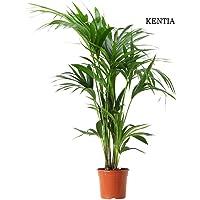 Howea forsteriana - Kentia - Maceta de 21cm
