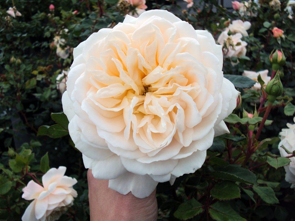 Englische Rose Crocus Rose ® Ausquest ® Containerrosen im großen 7,5 Liter Topf