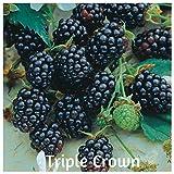 100 Stratified Triple Crown Blackberry Seeds