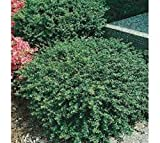 Soft Touch Dwarf Japanese Holly - Live Plant - Trade Gallon Pot