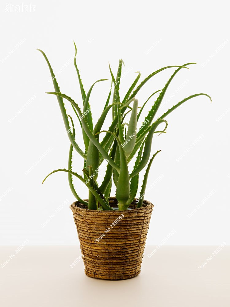 100 PCS Green Plant Aloe Vera Seeds Rare Herbs Seeds Tree Seeds Bonsai Indoor Outdoor Plants for Home /& Garden 3
