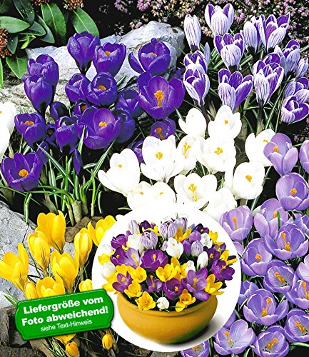 BALDUR-Garten Großblumiger Krokus-Mix, 100 Zwiebeln, Crocus vernus