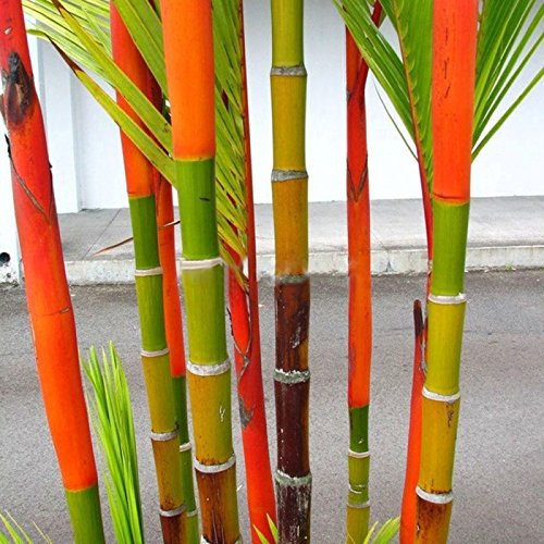 SSXY 2 Bag Seeds,100Pcs/Bag Phyllostachys Pubescens Moso Bamboo Seeds Planting Perennial Plants