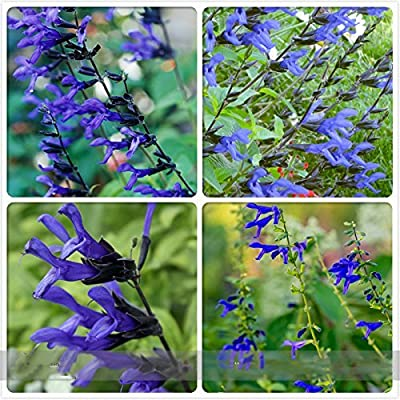 (B&B D *Ambizu*) 'Black and Blue' Salvia Guaranitica Sage Perennial / Annual Flower Seeds, Professional Pack, 30 Seeds