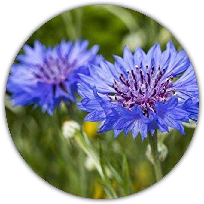 50 Semillas (Aprox.) de Aciano (Centaurea cyanus): Amazon.es: Hogar