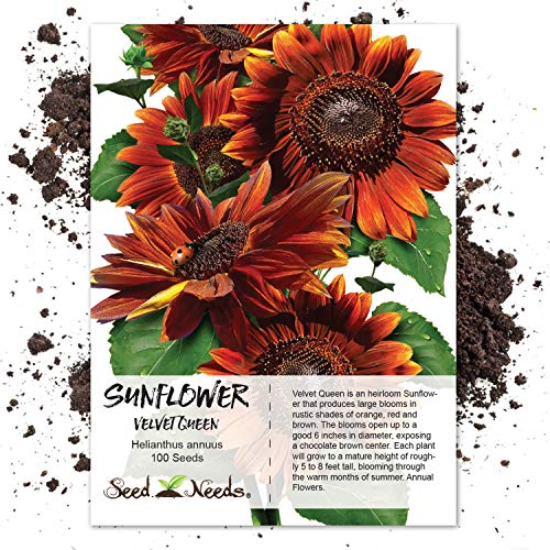 Seed Needs, Velvet Queen Sunflower (Helianthus annuus) 100 Seeds Non-GMO