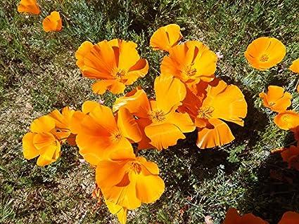 Amazon canvas print spring flower poppy california golden canvas print spring flower poppy california golden poppies stretched canvas 10 x 14 mightylinksfo