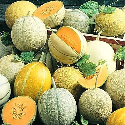 25+ ORGANICALLY GROWN Melon Sweet Summer Mix Cantaloupe Melon Seeds, Heirloom NON-GMO, Orange & Green Flesh Honeydew, Hearts of Gold, From USA