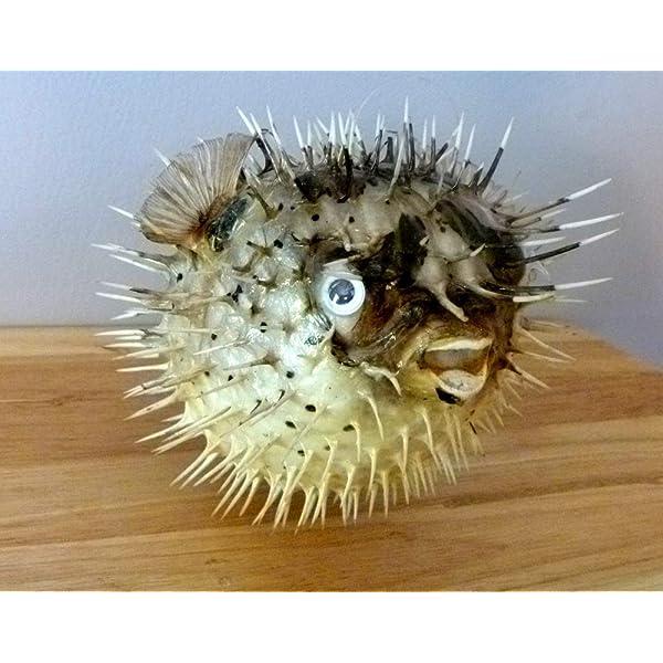 Amazon.com : Porcupine Puffer Blowfish