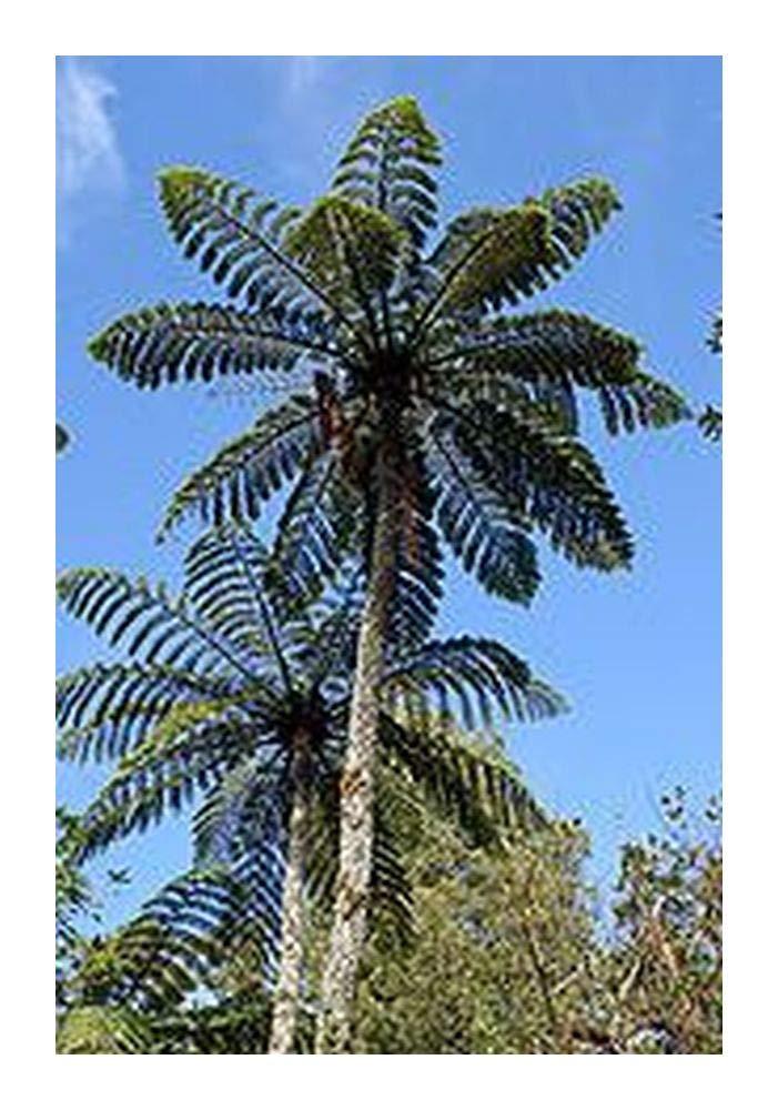 Cyathea sp. Tiny Top - Tree fern - 10 seeds Exotic Plants