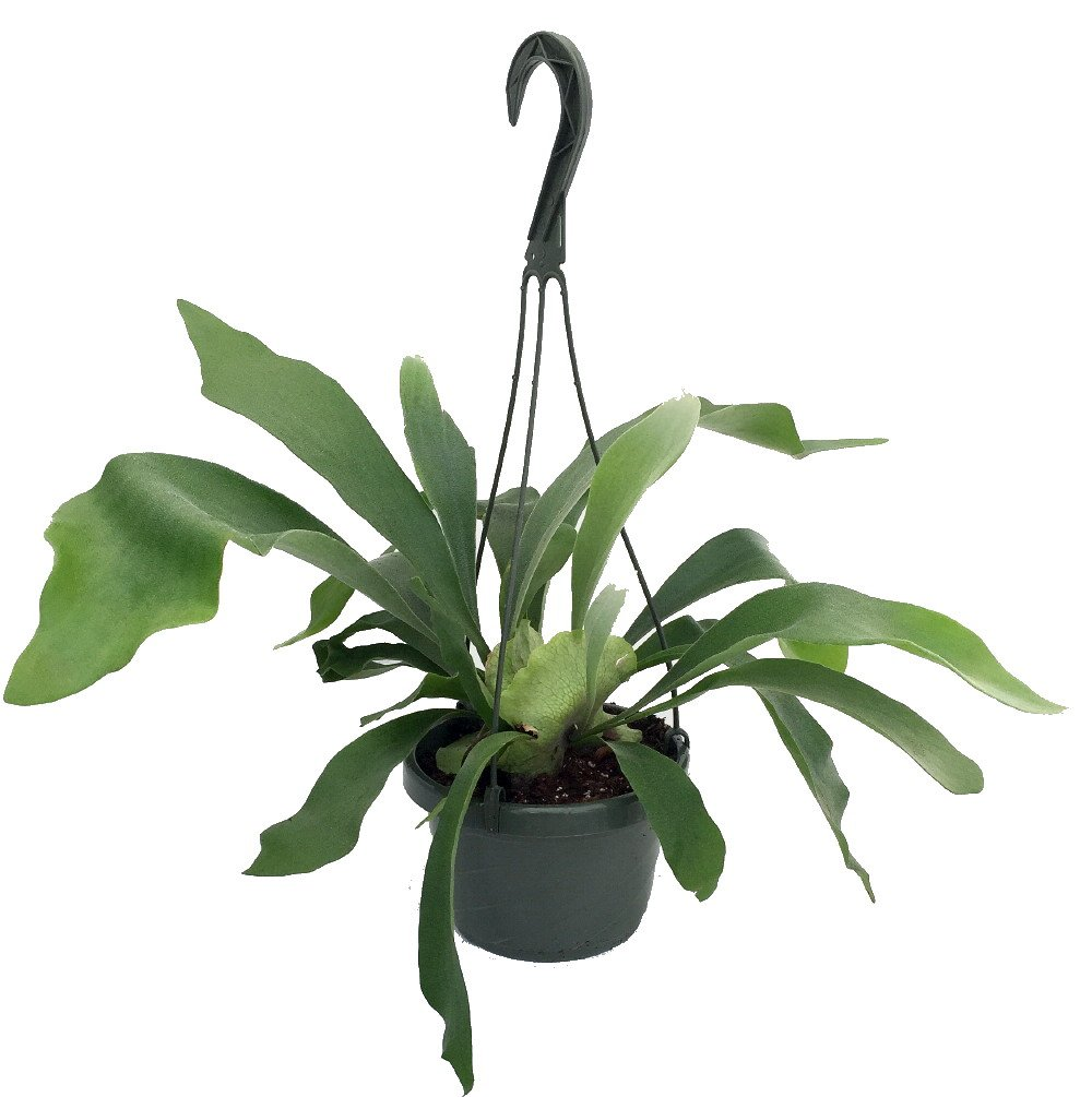 Staghorn Fern 6.5'' Hanging Plant - Exotic House Plant