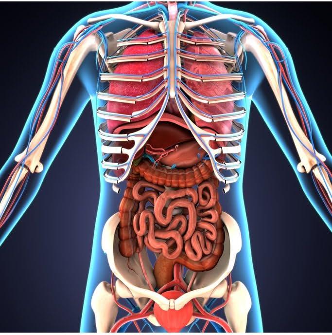 Human Body Organs Skeletal System 3d Illustration Educational Chart Cool Wall Decor Art Print Poster 12x18 Home Kitchen