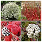 25 FIRE & ICE Dogwood Cornus Alba Shrub Tree Red Bark White Berry & Flower Seeds