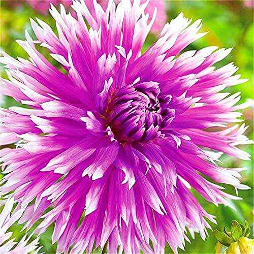 SVI freschi 200pcs SEMI Dahlia fiori per piantare arancione rosa