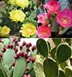 Prickly Pear Cactus Mix (Opuntia) 25+ Seeds