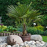 Hardy Fan Palm Trachycarpus forunei 60-70cm tall