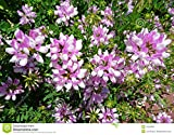Crown Vetch Coronilla Varia Pink Flowers, Trailing Vines for Slopes, 25 Seeds