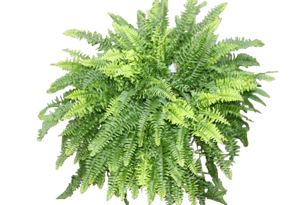 Indoor Plant - Nephrolepsis- Boston Fern -Bushy House Plant Approx 35cms Tall Olive Grove