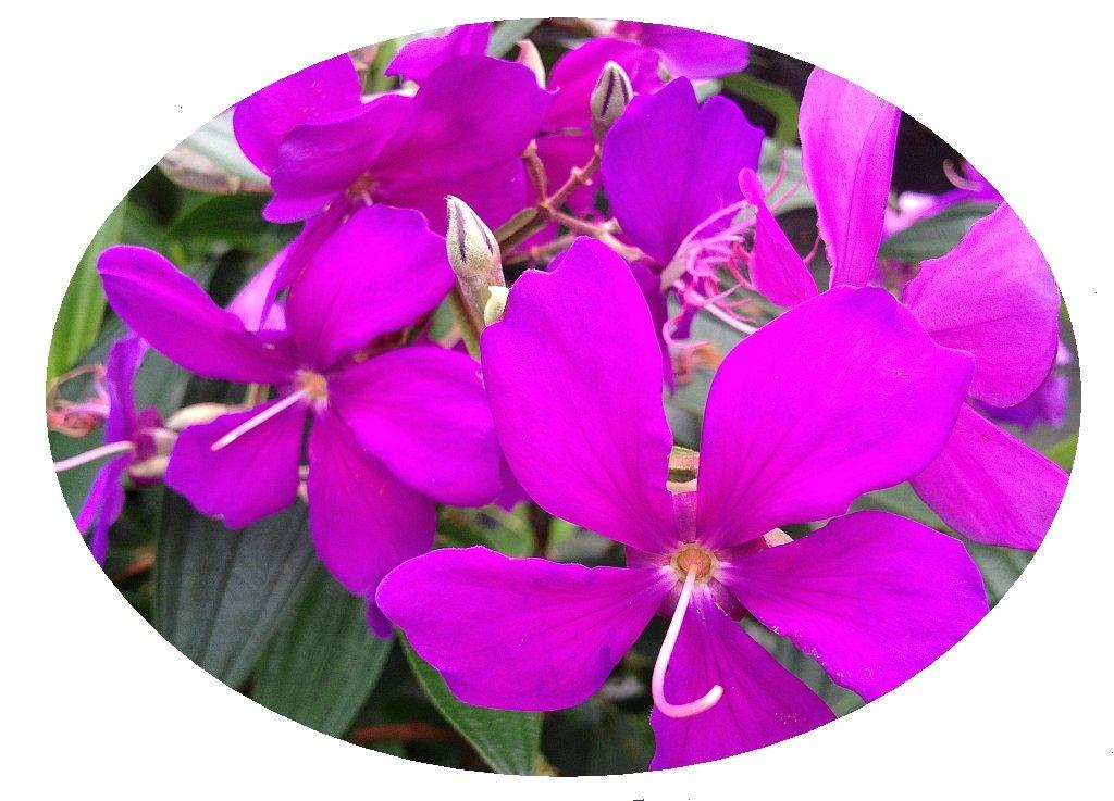 ECUADOR PRINCESS Tibouchina Bush Live Tropical Plant Purple Flower Starter Size 4 Inch Pot Emerald TM
