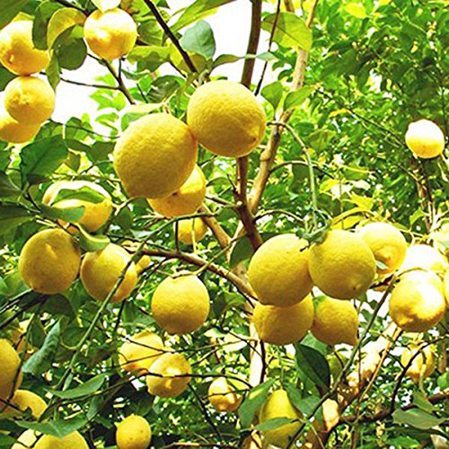 factory direct sale 10pcs rare pure natural organic sweet yellow lemon tree antioxidant indoor