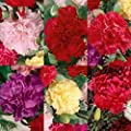 Dianthus CHABAUD MIX 100 Seeds Cuttings French Bouquets Double Blooms Heirloom