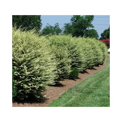 Discount Chinese Variegated Privet free shipping