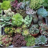 """Jiimz 20 Beautiful 4"""" inch Succulents in their plastic containers"""