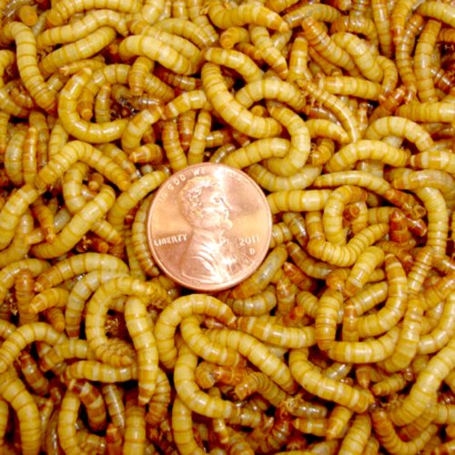 500ct Mealworms Live Reptile, Bird, Fish Food