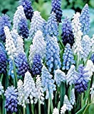 50 Muscari Delft Blue Moon Mixture - Grape Hyacinth