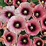 Halo Apricot Hollyhock Certified Alcea rosea 25 Seeds #66 Item UPC#650348691547 For Sale