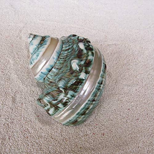 Hermit Cangrejo Conchas Mar Conchas De Caracol 1