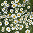 Herb Seeds - Chamomille German - 20000 Seeds