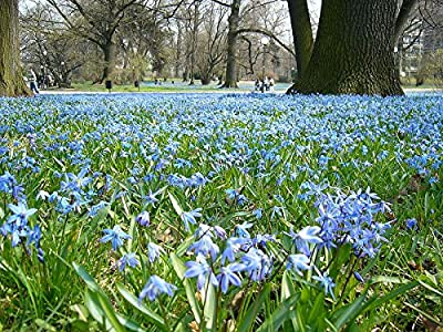 Siberian Squill Bulbs--Value Package!