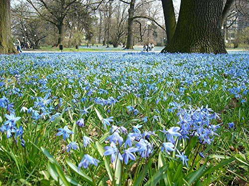 50 Siberian Squill Bulbs--Value Package! - Scilla Bulbs