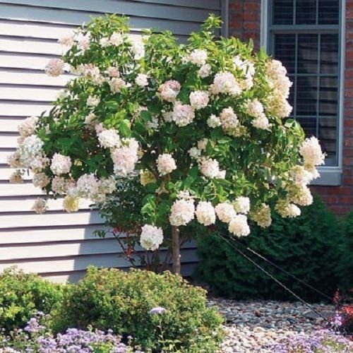 Hydrangea Live Dormant Tree beautiful Tree snow-white/bluish pink - Hydrangea Tree