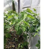 White Mulberry Tree - Morus Alba - Live Tree - Not Dwarf - Live Plant