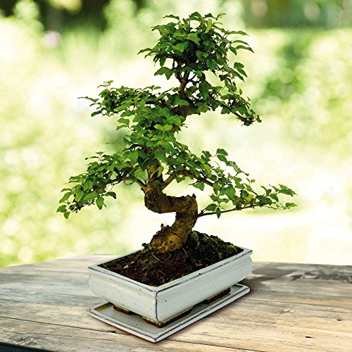Bonsai Ligustrum nitida S 14 yr - 1 Tree