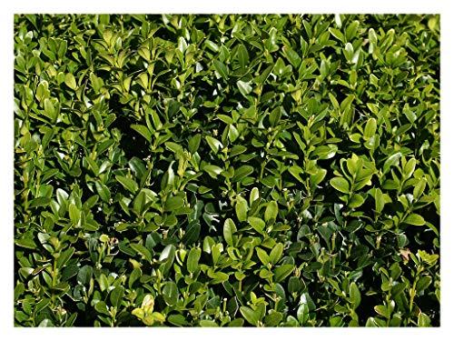 American Boxwood - Common Boxwood - Buxus Glencoe - Hardy Healthy Evergreen 2.5