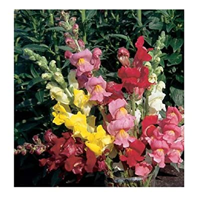 David's Garden Seeds Flower Snapdragon Rocket Mix SL1267 (Multi) 50 Non-GMO, Hybrid Seeds : Garden & Outdoor