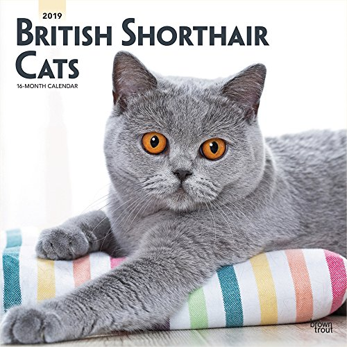 - British Shorthair Cats 2019 12 x 12 Inch Monthly Square Wall Calendar, Animals Cats British Shorthair (Multilingual Edition)
