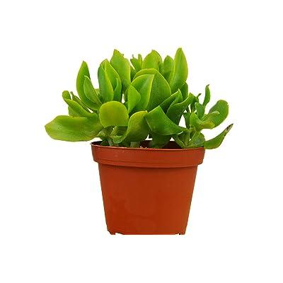 "Ripple Jade Crassula Arborescens Undulatifolia 4"" Pot Succulent Garden tkhps : Garden & Outdoor"