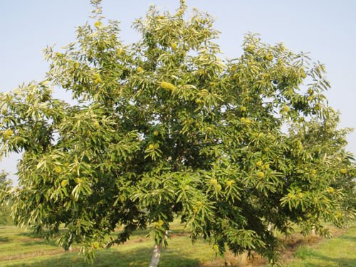 - Chinese Chestnut Tree Castanea mollissima Heavy Established Roots 1 Gallon Trade by Growers Solution