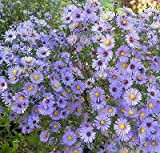 ASTER SMOOTH BLUE * Symphyotrichum laeve * BUTTERFLY NECTAR SOURCE * SEED