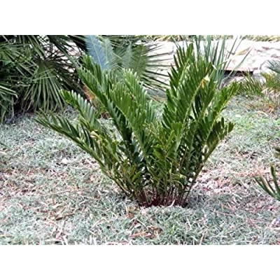 20 COONTIE PALM SEEDS - Zamia integrifolia : Garden & Outdoor