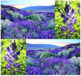 50 x Sweet Blue Lupine Seed - Lupinus angustifolius - Gorgeous Annual - Blue Lupine for Food Plot Legume - Rabbits, Deer, Quail, Turkey, Pheasant