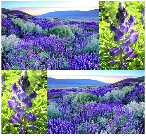 (50 x SWEET Blue Lupine Seed - Lupinus angustifolius - GORGEOUS ANNUAL - BLUE Lupine For Food Plot Legume - Rabbits, Deer, Quail, Turkey, Pheasant - By MySeeds.Co)