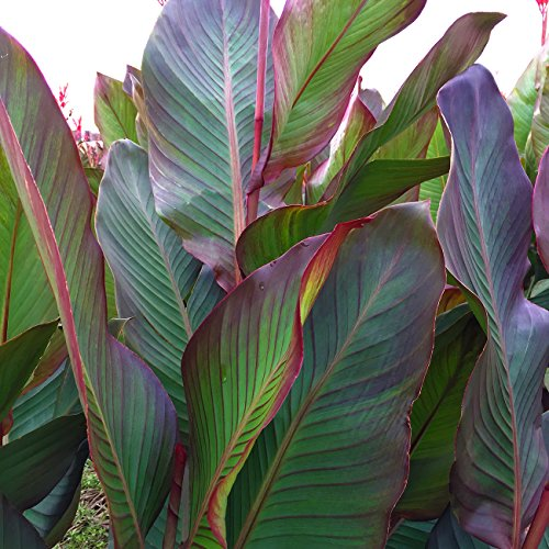 Van Zyverden Giant Cannas- World's Tallest Cannas Musifolia- Set of 5 Bulbs
