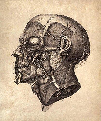 Amazon 16 X 20 Vintage Anatomy Human Illustration Of Facial