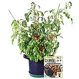 Grow Your Own Caprese Partial Kit - AS SEEN ON SHARK TANK - Fast-Growing Organic NonGMO Recipe Garden Kit